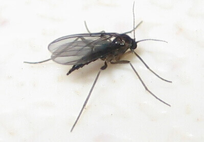 Female black fungus gnat