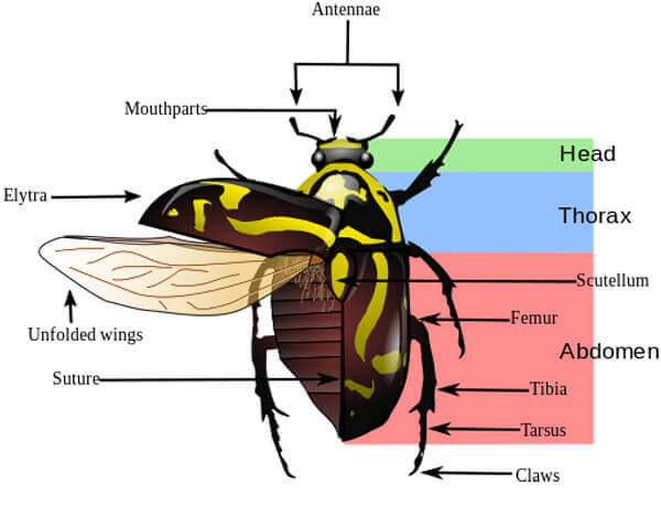 Fiddler beetle morphology diagram